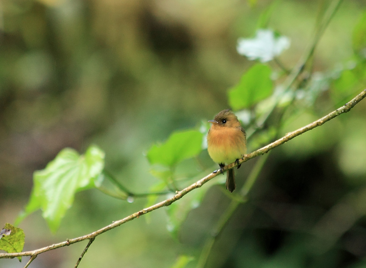 Tufted flycatcher, Alberto Manuel Brenes Biological Reserve, Costa Rica