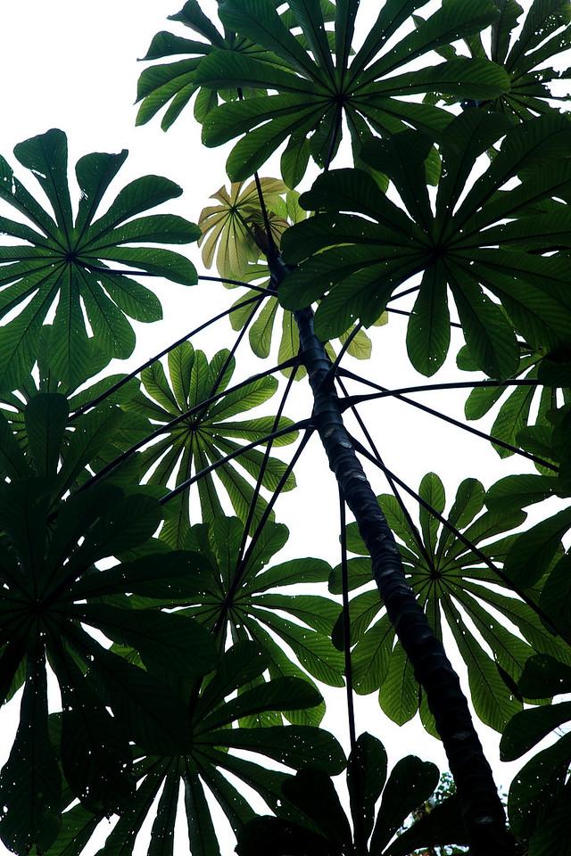 Cecropia obtusifolia, Alberto Manuel Brenes Biological Reserve, Costa Rica
