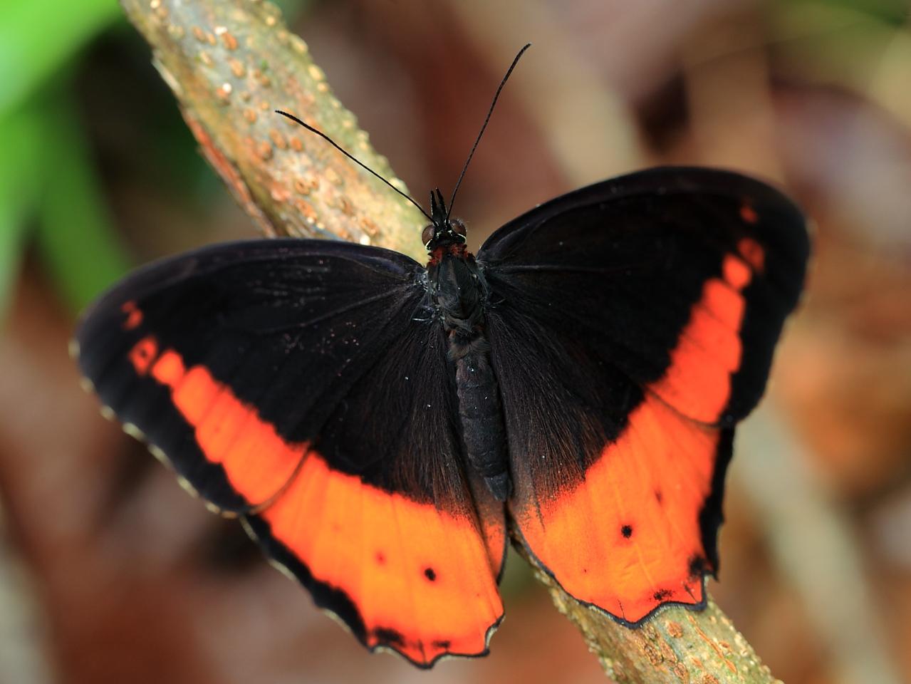 A satyrid butterfly (Oxeoschistus puerta submaculatus), Alberto Manuel Brenes Biological Reserve, Costa Rica