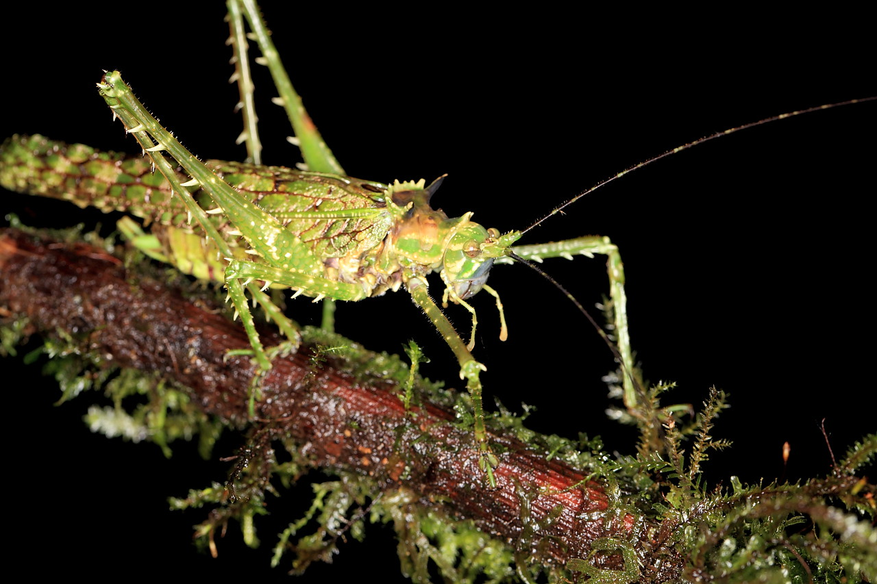 Large orthopteran, Alberto Manuel Brenes Biological Reserve, Costa Rica
