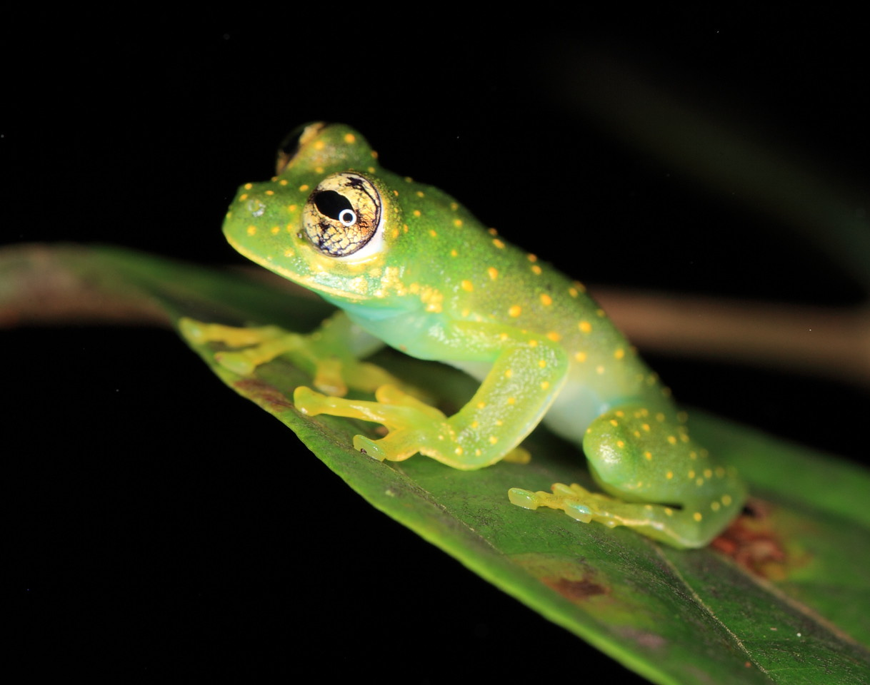 Glass frog (Cochranella albomaculata) perched on a leaf overhanging a stream at Campanario, Osa Peninsula, Costa Rica