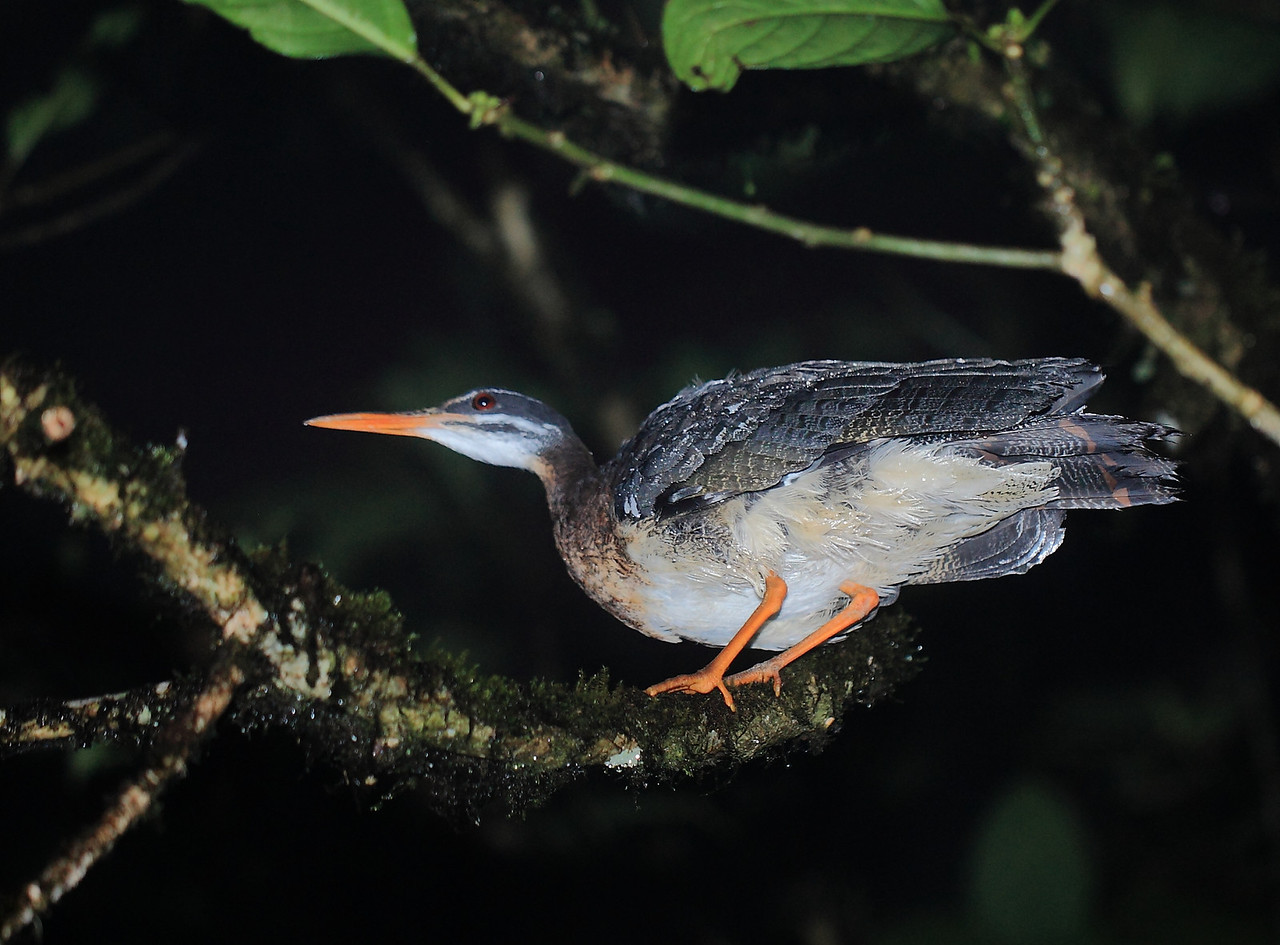 Sun bittern found roosting at night, Alberto Manuel Brenes Biological Reserve, Costa Rica