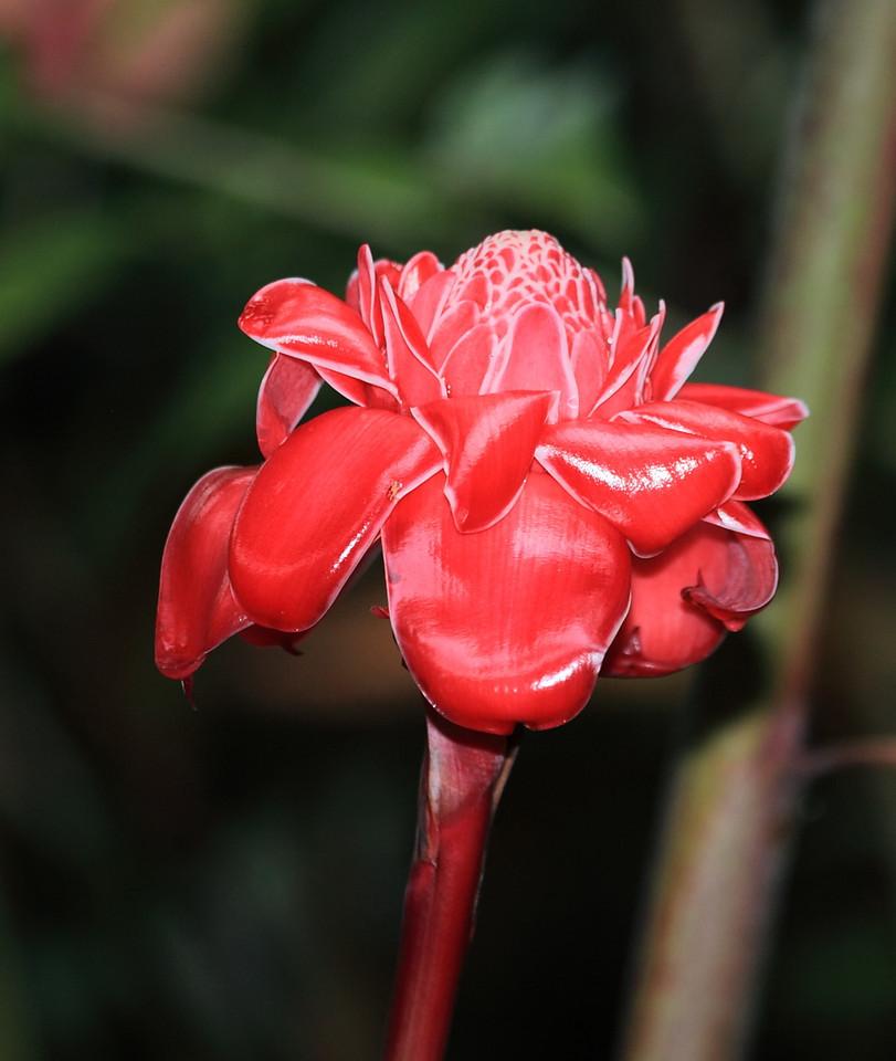 A cultivated Red Torch Ginger (Etlingera elatior), Campanario, Osa Peninsula, Costa Rica