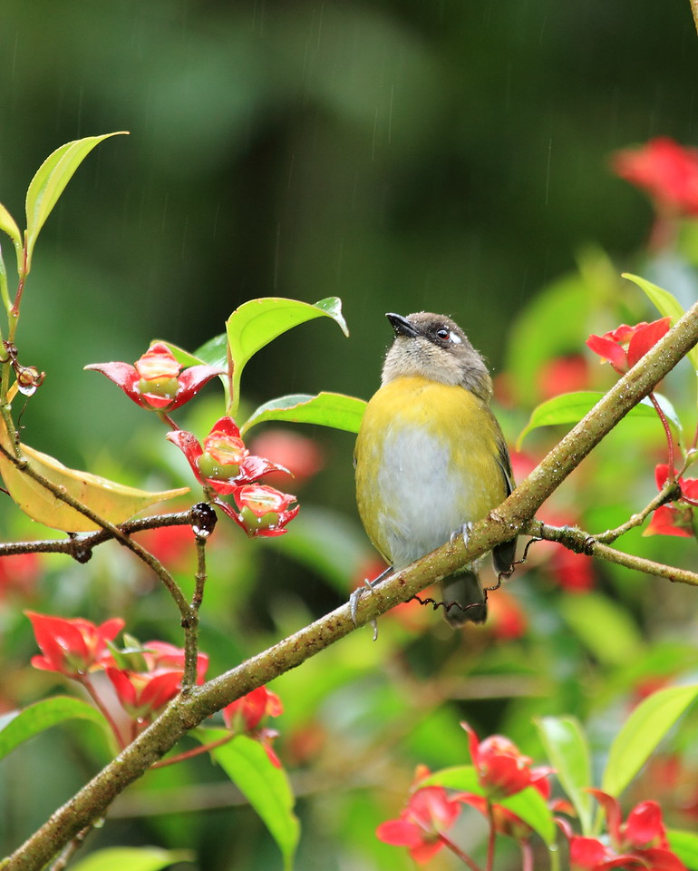Common bush tanager on a Blakea gracilis shrub, Alberto Manuel Brenes Biological Reserve, Costa Rica