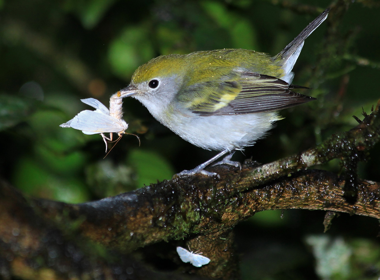 Chestnut sided warbler, Alberto Manuel Brenes Biological Reserve, Costa Rica
