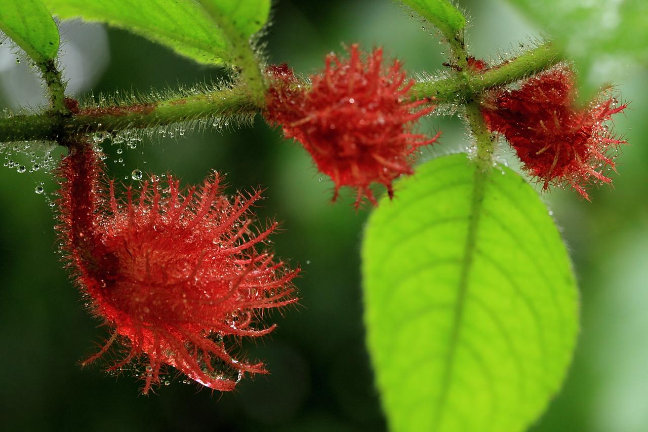 Strange flowers of the shrub Alloplectus weirii (Gesneriaceae), Alberto Manuel Brenes Biological Reserve, Costa Rica