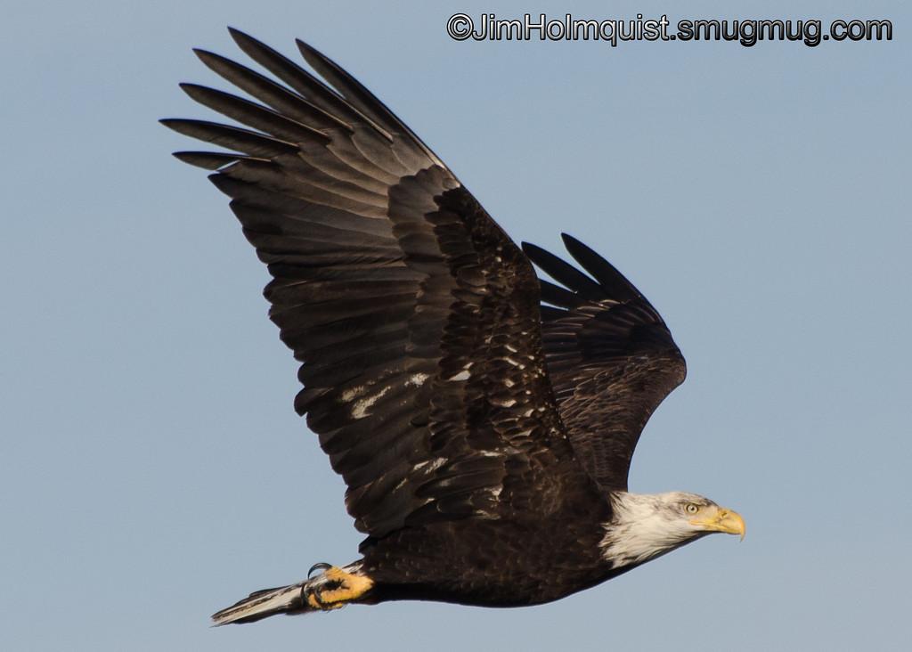 American Bald Eagle - Ocean Shores, Wa