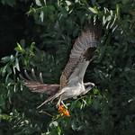 Osprey - catching a juicy goldfish near Olympia, Wa