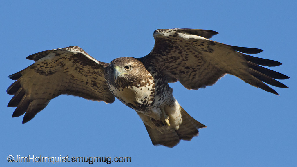 Red-Tailed Hawk - Nisqually Wildlife Refuge