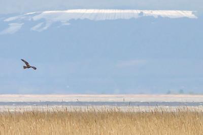 Rohrweihe - Western Harrier