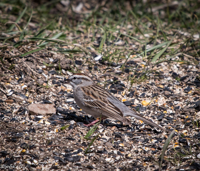 Chipping Sparrow has been really noisy!