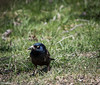 I call this one the Grumpy Grackle.  What an evil eye!