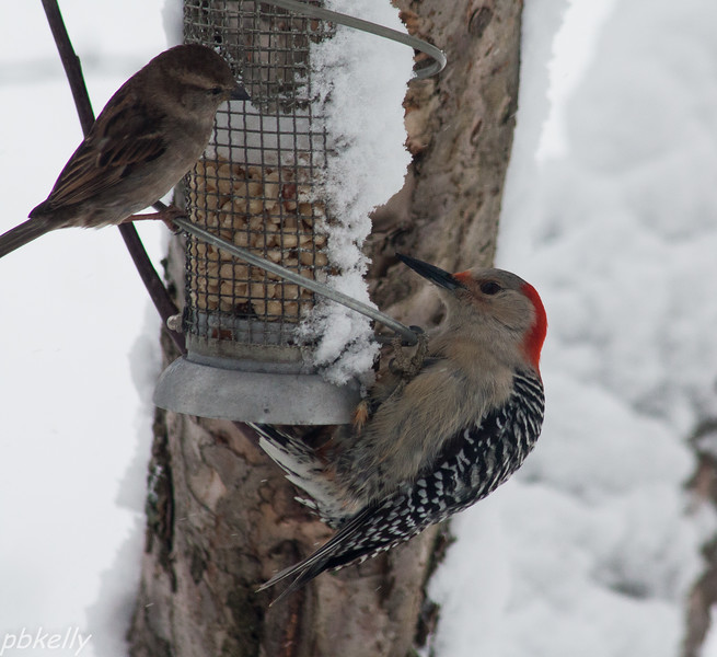 Face off at the peanut feeder.