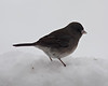 Ground feeding Junco checking for seeds in the snow.