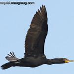 Double-crested Cormorant - near Idaho Falls, Id