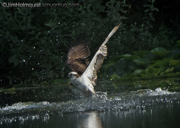 Osprey - he made a nice splash when diving for a fish but missed this time. Near Olympia, Wa