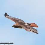 Red-Tailed Hawk - near Olympia, WA