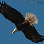 American Bald Eagle - near Olympia, Wa