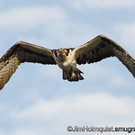 Osprey - watching me closely as I watch the nest near Idaho Falls, Id