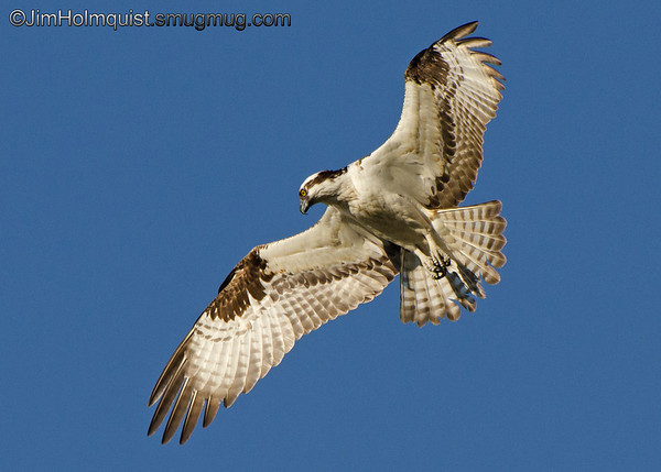 Osprey - hovering looking for fish near Olympia, Wa