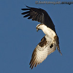 Osprey looking for fish near Olympia, Wa