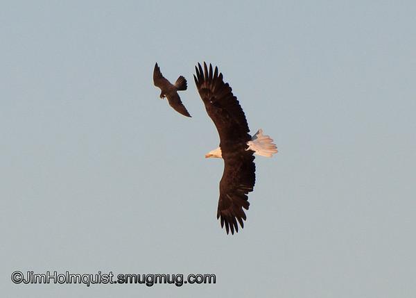 Peregrine Falcon harrassing a Bald Eagle - Nisqually Wildlife Refuge near Olympia, Wa