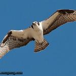 Osprey - Snake River near Idaho Falls, ID