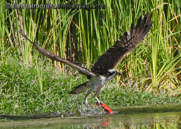 Osprey catching a fish near Olympia, Wa<br /> <br /> 11/26/2013 Update: I really appreciate all the nice comments! This was taken at a series of water reclamation ponds that I believe were stocked with Goldfish or Koi by the people that manage it. I saw schools of smaller orange fish swimming under the surface at times but they apparently grow quite large since I watched the Osprey, Eagles and Otters taking larger ones like this. This is the best picture of a successful catch but I have many Osprey dive pictures with some nice splashes in my Osprey gallery.
