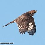 Cooper's Hawk - Nisqually Wildlife Refuge near Olympia, WA