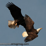 Bald Eagle -  Pair of eagles at Nisqually Wildlife Refuge near Olympia, Wa