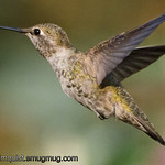 Anna's Hummingbird - in flight at 1/6400 near Olympia, Wa
