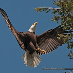 American Bald Eagle - coming in for a landing near Olympia, Wa