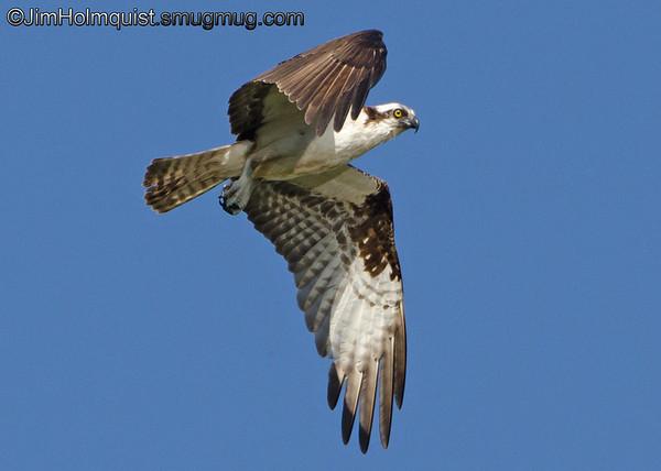 Osprey - looking for fish near Olympia, Wa