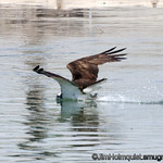 Osprey - skimming the top of the water near Idaho Falls, Id