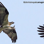 Osprey - attacking a Bald Eagle near Olympia, Wa