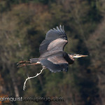 Great Blue Heron - Nisqually Wildlife Refuge near Olympia, Wa
