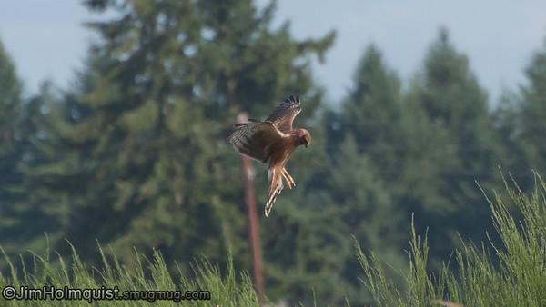 Northern Harrier - Scattercreek near Olympia, Wa