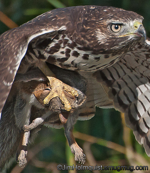 """Red-tailed Hawk - """"Tenderly"""" carrying a squirrel at Nisqually Wildlife Refuge near Olympia, Wa."""