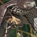"Red-tailed Hawk - ""Tenderly"" carrying a squirrel at Nisqually Wildlife Refuge near Olympia, Wa."
