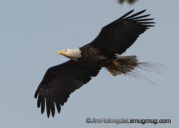 American Bald Eagle - with nesting materials