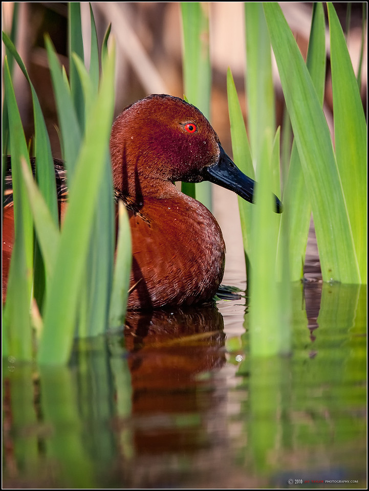 Male Cinnamon Teal
