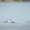 Western Grebe and her young