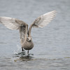 Young Glaucous-winged Gull at Cattlepoint