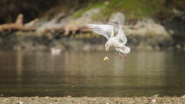Gulls and Sea Birds