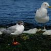 Bonepart Gull