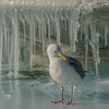 Glaucous-winged Gull on a cold Victoria day