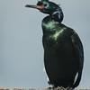 Pelagic Cormorant - breeding plumage