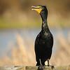 Double-crested Cormorant - breeding plumage