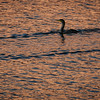Double-crested Cormorant in a copper ocean