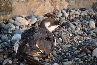 An injured Common Murre.  He was sent to BCSPCA Wild Arc.  I hope he makes it.
